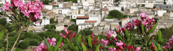 blommor oleander flowers crete kreta